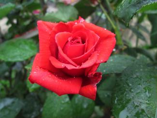 krijg je geen rozen? heb ik een goede relatie